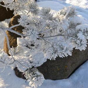 Сосна, снег и камень - зимняя прелесть!