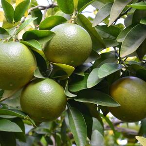 Апельсины колосятся)