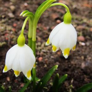 Белоцветник весенний - дача потихоньку начинает расцветать)
