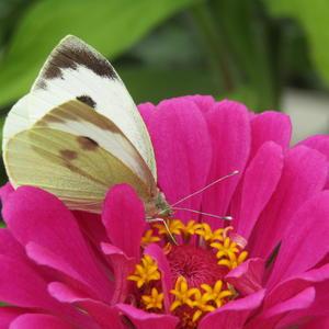 Бабочка белянка (капустница)