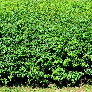 За зеленою стеной надежно как и за любой другой