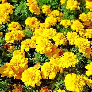 Жёлтые помпоны бархатцев - золотое буйство лета