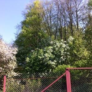 Черемуха и вишня в цвету у липовой аллеи