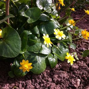 Калужница цветет