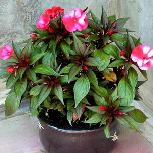 Ванька-мокрый (Бальзамин) - самый комнатный русский цветок