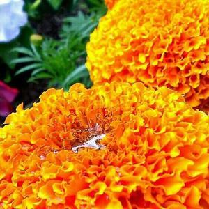 После дождя - серебрянные капли на оранжевом бархате