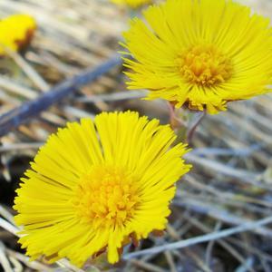 Мать-и-мачеха на полянке цветёт