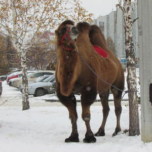 На гербе Челябинска верблюд, потому что мы находимся на Великом Шёлковом Пути