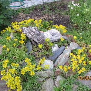 Эти живучие почвопокровники и на камнях себя чувствуют прекрасно!