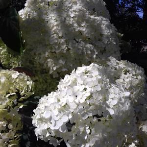 Гортензия у мамы в саду))