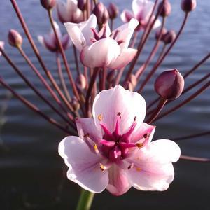 Цветы Сусака зонтичного))) Житель прибрежных вод))