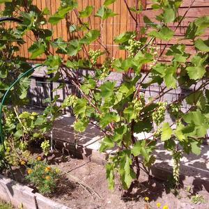 А у нас на грядке виноград:))) Первое плодоношение