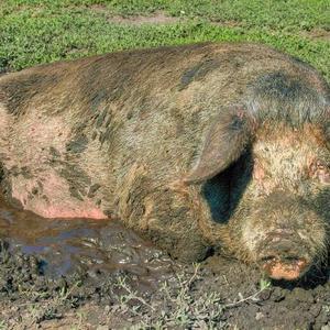 Свинья грязь найдет!