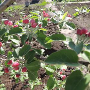 Наливные яблочки.