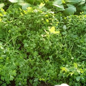 Первый урожай кресс-салата даже слегка перерос