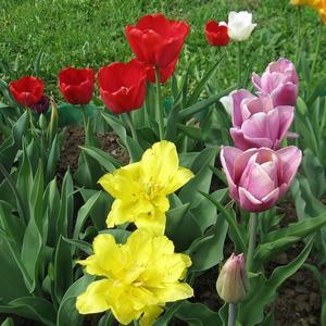 Тюльпаны разные