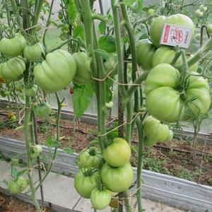 В теплице зреют томаты