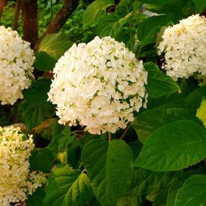Гортензия Анабель - любимица моего сада...
