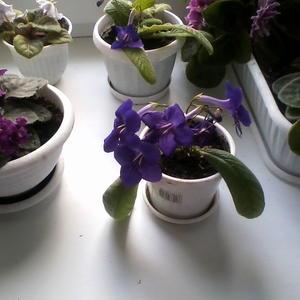 Мои любимые цветы - фиалки и стрептокарпусы