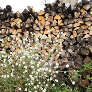 Белый икотник к дровам прислонился
