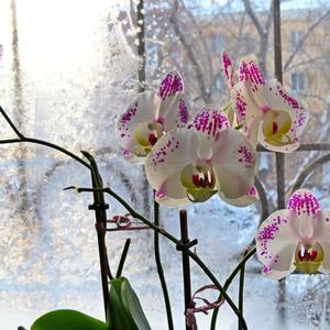 За окошком зима. А в тепле, чуть робея, зацвела, улыбаясь, моя орхидея