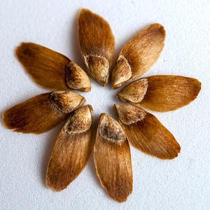 Семена лиственницы