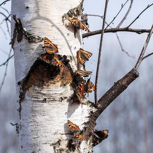 Бабочки пьют берёзовый сок