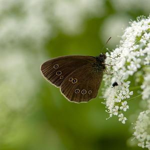 Крылья цвета шоколада