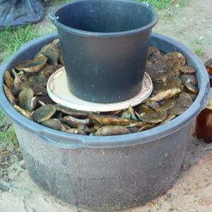 Подготовка груздей к засолке