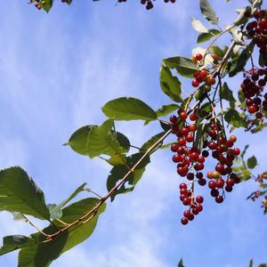 Спеют ягоды на ветке...