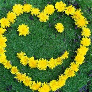 Весенний смайлик из одуванчиков на моём газончике из мшанки