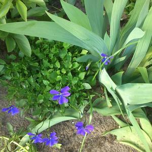 Очарование синей фиалки