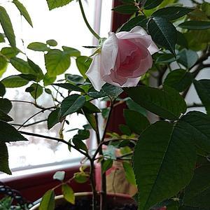 И снова зацвела моя нежная роза