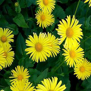 Жёлтые ромашки