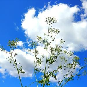 Урожай семян петрушки - всем хватит!