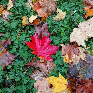 Красная ладошка Осени