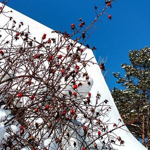 Крыша, снег и шиповник - Зима!