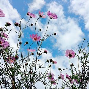 Воздушная красотка - любимая космея