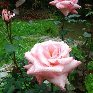 Дождь  и роза