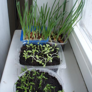 Домашний огород (лук, салат, петрушка)