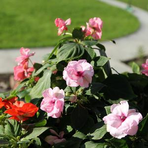 Бальзамин махровый Фея цветов