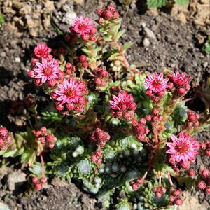 Молодило паутинистое цветет