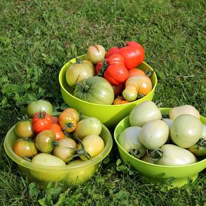 Первый сбор помидорок