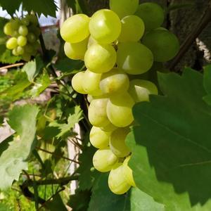 Виноград белый