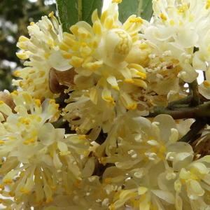 Цветы Лавра Благородного