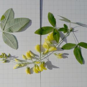 Бобовник трёх листочковый - Золотой дождь