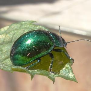Листоед зелёный мятный (лат. Chrysolina herbacea).