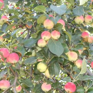 Яблочный аромат