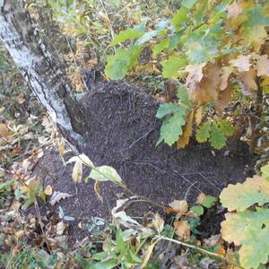 Муравьиный домик в осеннем лесу