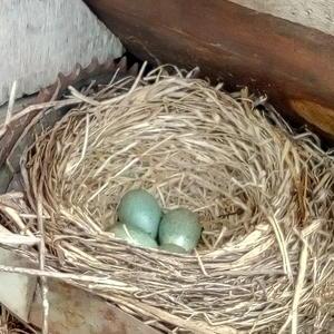 Скоро вылетят с гнезда четыре молоденьких дрозда